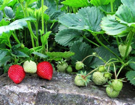 planting strawberries how to grow strawberry plants successfully in pots dengarden