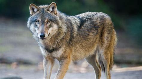 Résultat d'images pour image de loups