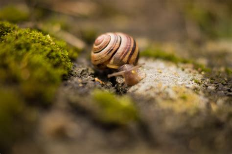 Images For Brown Snail 183 Free Stock Photo