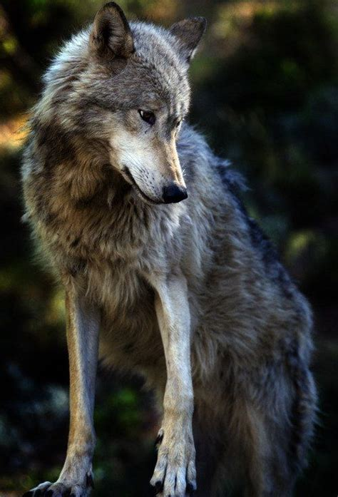 beautiful wolf animals photography pinterest