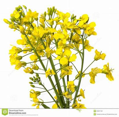 Rapeseed Plant Clipart Background Flowers Close Flower
