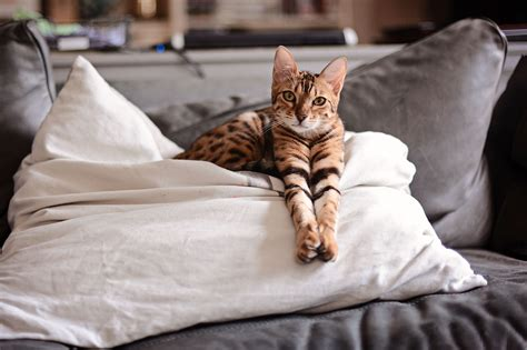 expensive most cats cat breeds valuable thelistli bengal zoom meowza these 1500