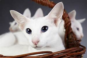 Colorpoint Shorthair Cat Breed Information, Pictures ...