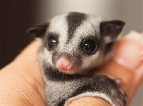Gabbia Per Petauro - il petauro dello zucchero un marsupiale molto goloso
