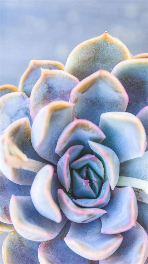 Best 54 bluebird desktop backgrounds on hipwallpaper from hipwallpaper.com. Echeveria 'Blue Bird' in 2020 | Succulents, Echeveria, Succulent studios
