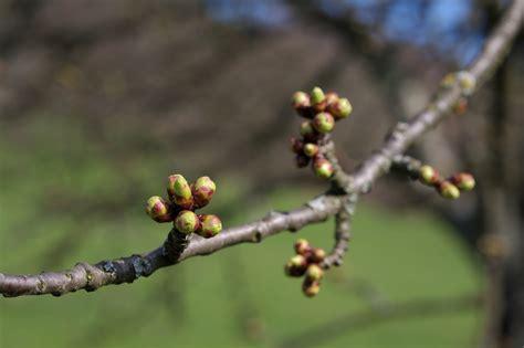 tree with buds file apple tree buds jpg