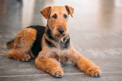 airedale terrier non shedding airedale terrier breed 187 information pictures more