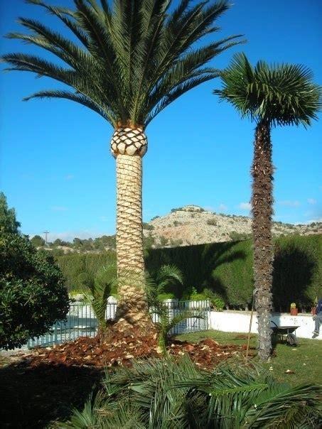 pineapple  sylvester palms trunk
