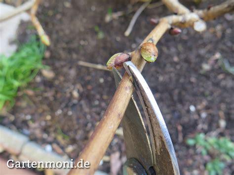 Hortensien Schneiden Wann Und Wie by Hortensie Schneiden 2 Gartenmoni Altes Wissen Bewahren