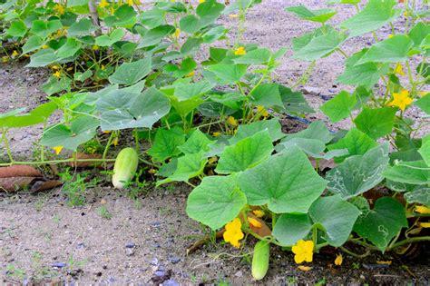 wann pflanzen gurken pflanzen 187 wo wann wie