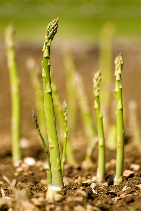 growing asparagus how to grow asparagus harvest to table