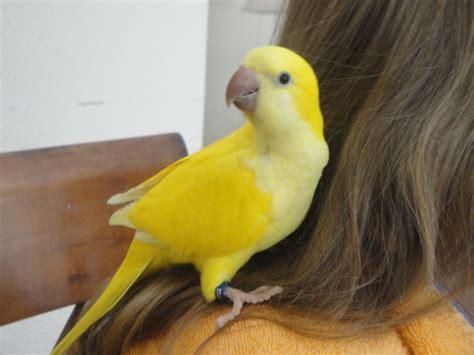 last baby left hand reared lutino quaker parrots