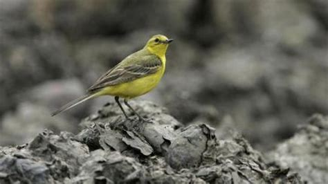 fall in migratory birds populations bt