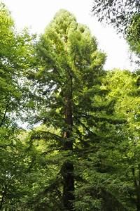 Grenzabstand Bäume Nrw : monumentale b ume im arboretum burgholz in wuppertal nordrhein westfalen deutschland ~ Frokenaadalensverden.com Haus und Dekorationen