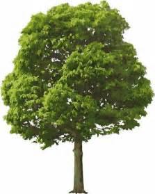 white pine trees árbol de la vida oreinsof