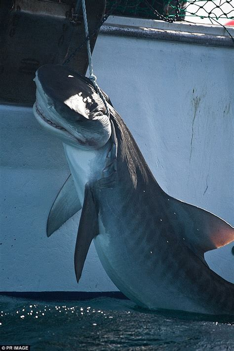 Fishing Boat Attacked By Shark South Africa by Australia Has The Highest Number Of Fatal Shark Attacks In