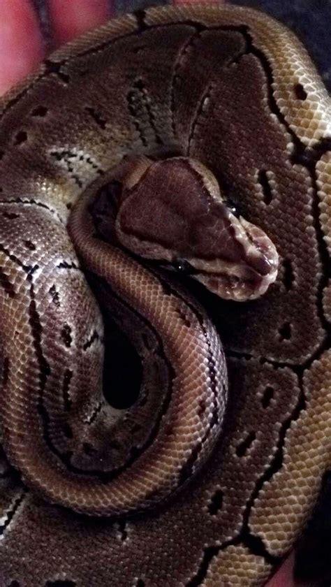Python Shedding And Feeding by 100 Python Shedding And Feeding Care Sheet