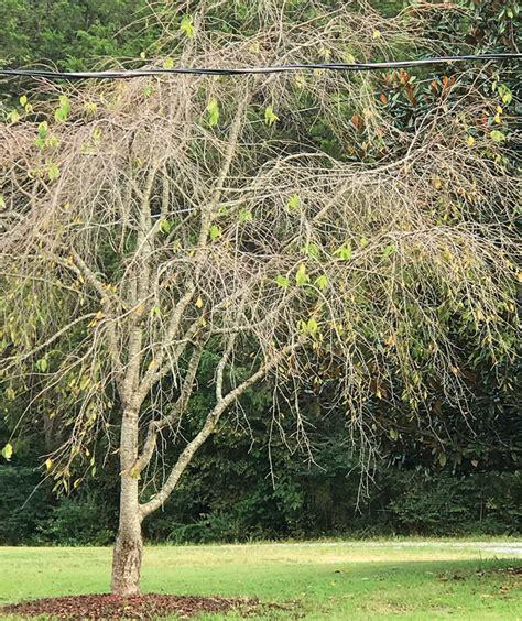 weeping cherry tree losing leaves amy lynn albertson farm summit has lots of answers salisbury post