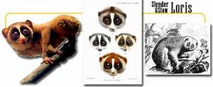 Slow Loris - info and games