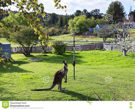 Australian Backyard by Kangaroo In Australian Backyard Stock Photo Image