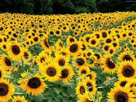 tips menanam bunga matahari sampai berbunga youtube