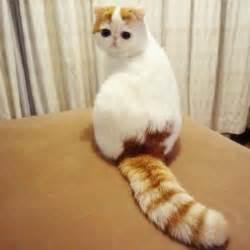 flat faced cat for snoopybabe flat faced feline sensation ripley s believe
