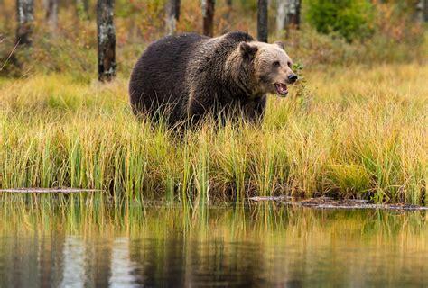 Dienas prieks: Mežu iemītnieki arvien biežāk iegriežas pilsētā | liepajniekiem.lv