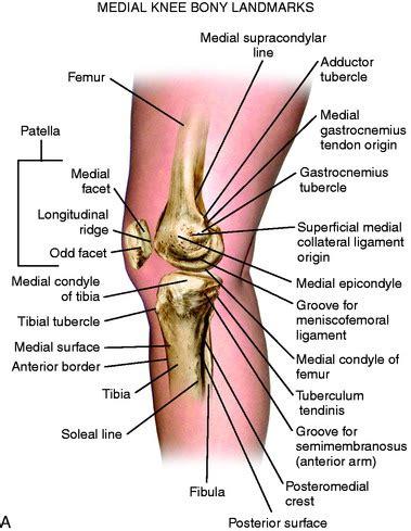 Anterior Medial Knee Anatomy