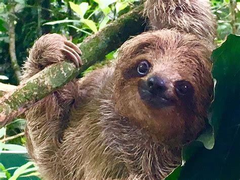 Sloth Images Are Sloths Lazy Wonderopolis