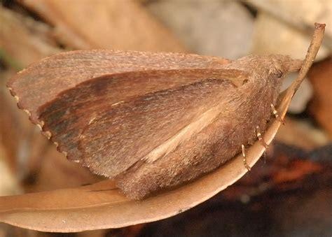 brown snout moth entometa apicalis