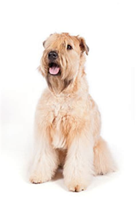 Calm Non Shedding Large Dogs by Calm Non Shedding Breeds Breeds Picture