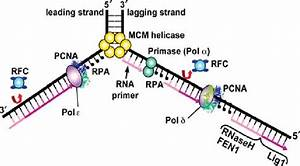 Enzymes And Reactions In The Dna Replication Fork  Major