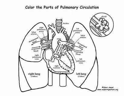 Lungs Heart Coloring Circulation Pulmonary System Human