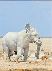 Albino elephant   Animal   Pinterest   Beautiful, Clay and ...