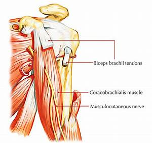 Easy Notes On 【Muscles of the Upper Arm】Learn in Just 3 ...
