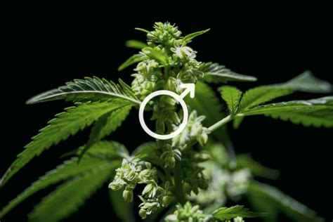 Uses Of Male Cannabis Plants