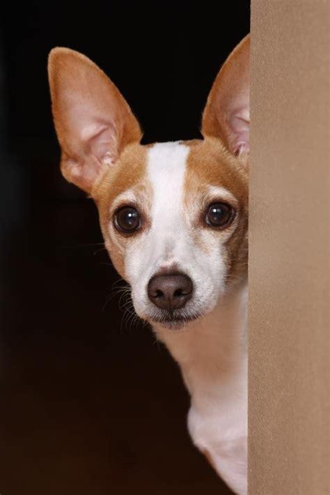 rat terrier dog pictures slideshow