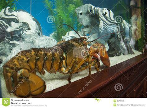 cuisiner un homard vivant homard vivant photo libre de droits image 35782635