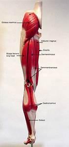 Rezultat Imagine Pentru Leg Muscle Model Labeled