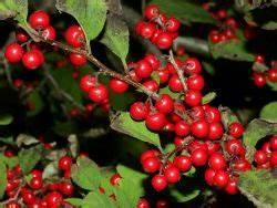 Strauch Mit Roten Beeren Im Winter : korallenh lse 39 red couple 39 rote winterbeere 39 red couple 39 ilex verticillata 39 red couple ~ Frokenaadalensverden.com Haus und Dekorationen