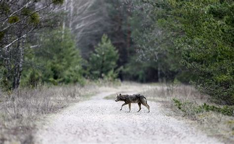 Gray wolves from the radioactive forbidden zone around the nuclear disaster site of chernobyl are the wolves are prospering not due to any mutant superpower, but because the radioactive zone now. Chernobyl wolves: how they live and look the wolves in ...