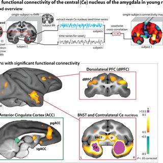 human brain  cross section cortical limbic