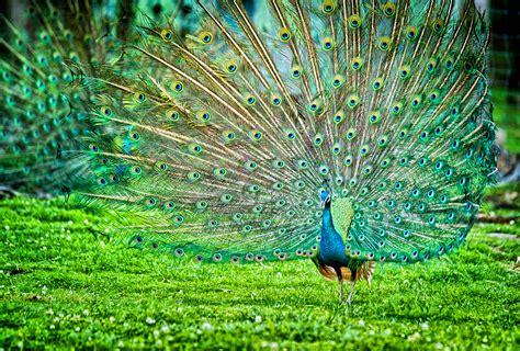 Peafowl Bird  Indian Peafowl Bird Pictures Free Hd Wallpaper