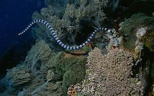 Pelagic sea Snake | All about snake pictures