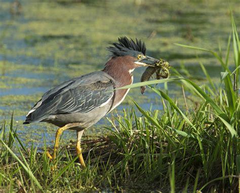 birding slow in nw wisconsin startribune com