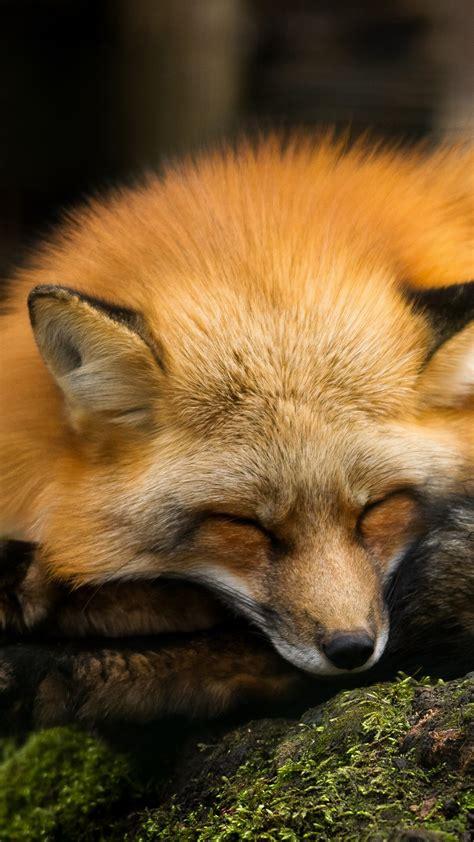 wallpaper red fox hd animals