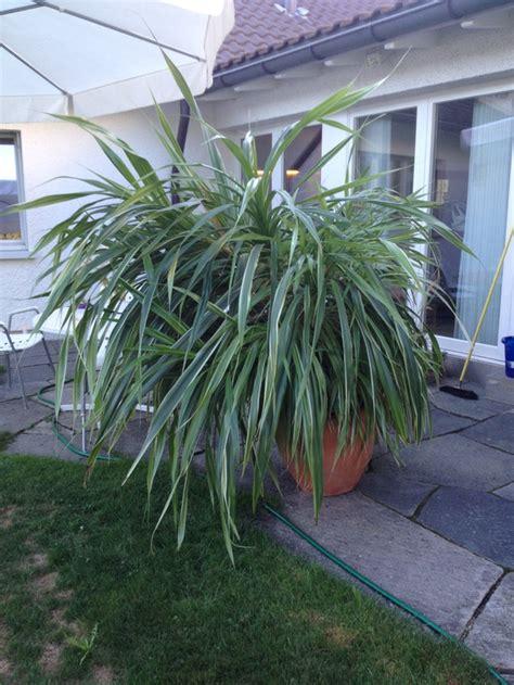 Zimmerpflanze Hoch by Zimmerpflanze 170cm Hoch Ca130cm Breit Ca 15 Jahre Rubrik