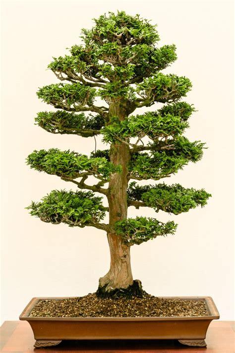 Bonsai Baum Pflanzen by Muschelzypresse Chamaecyparis Obtusa Als Bonsai Bonsai