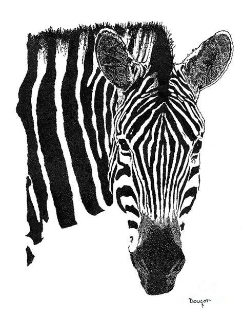 zebra  drawing  david doucot