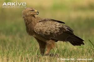 Lesser spotted eagle photo - Aquila pomarina - G43765 | Arkive